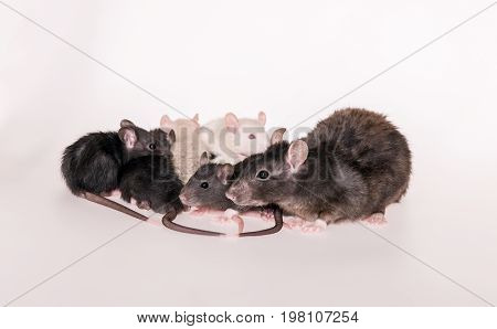 Portrait of a rat mom and small babies rat