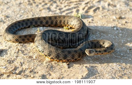 Portrait of a snake known as Natrix tessellata looking at camera on sand in the steppe near volga river