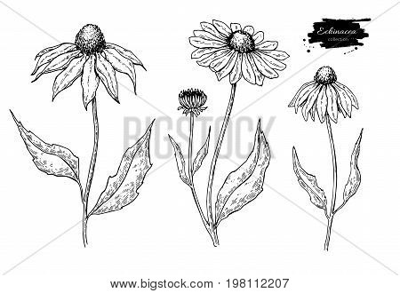 Echinacea vector drawing set. Isolated purpurea flower and leaves. Herbal engraved style illustration. Detailed botanical sketch for tea, organic cosmetic, medicine, aromatherapy