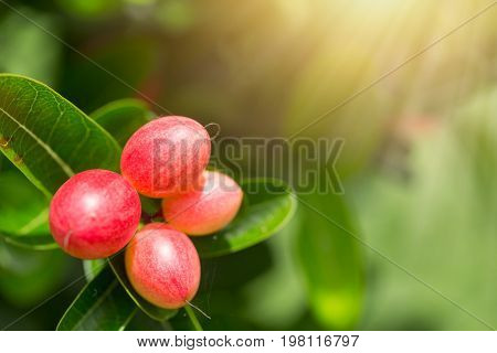 Thai Red Berry Or Bengal Currant Or Carissa Carandas Fruits With Leaves Space For Text