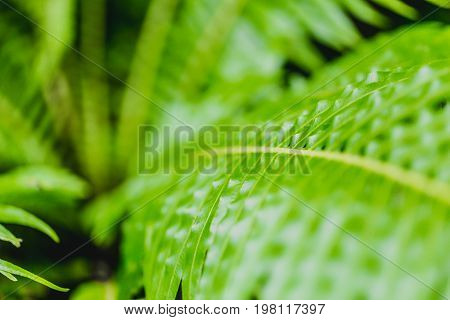 Green Fern Rain Forest Background Concept. Nephrolepis Exaltata (the Sword Fern) - A Species Of Fern