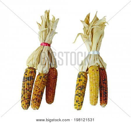 Bundles of three colorful Indian corn husks isolated on white background