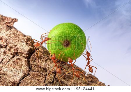 Ants carrying food together, teamwork concept, animal. insect