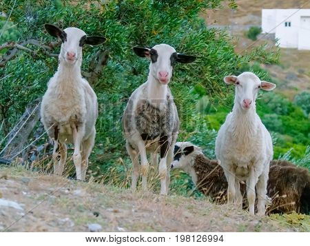 Three young sheeps standing on the slope of the mountain and looking to a camera on mountain background. Portrait of funny sheeps on background of green grass on the sheep farm.funny goat on background of green grass on the goat farm.
