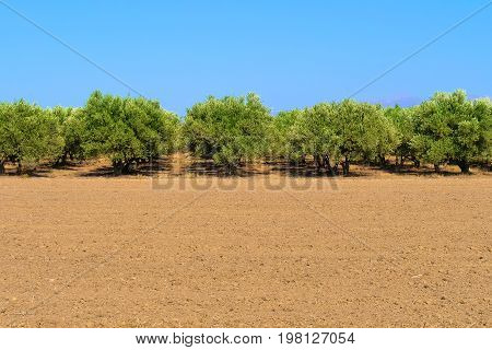 Plantation of olive trees. Olive trees in a row. Olive tree fields with red soil. Olive garden Crete Greece Europe