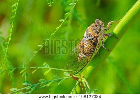 Cicada sits on a branch on a green blurred background. Cicada Bug. Cicada insect. Cicada stick on tree close up.