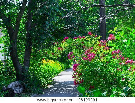 Narrow rural street with trees and grass in the morning sun. Close up of climbing rose with pink flowers, yellow flowers border in blur background.