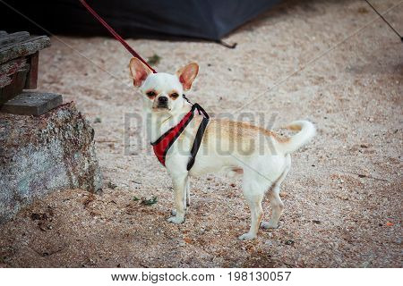 Leashed small cute smooth-haired Chihuahua puppy  waiting for owner