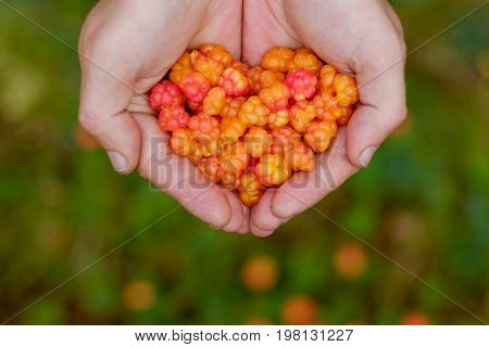 Cloudberry grow in the forest in Russia. Man holding berries in hands