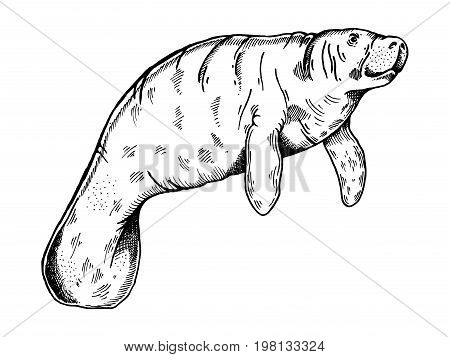 Manatee water animal engraving vector illustration. Scratch board style imitation. Hand drawn image.