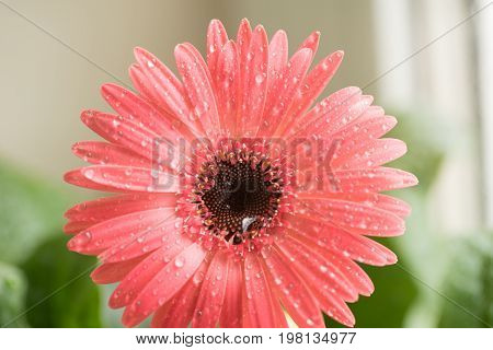 Bud of pink gerbera flower closeup. Dew and water droplets on the petals. Macro. Stock photo.