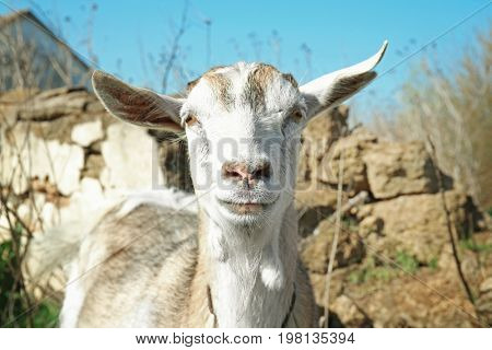 Cute goat in village