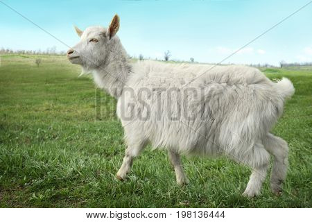 Cute goat gazing on green field