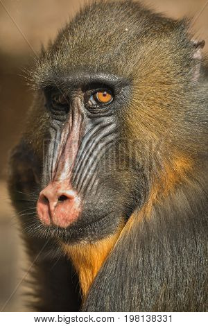 Mandrill colorful face in detail look, beautiful monkey in the zoo