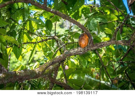 Organic Cacao Fruit Pods (theobroma Cacao) In Nature