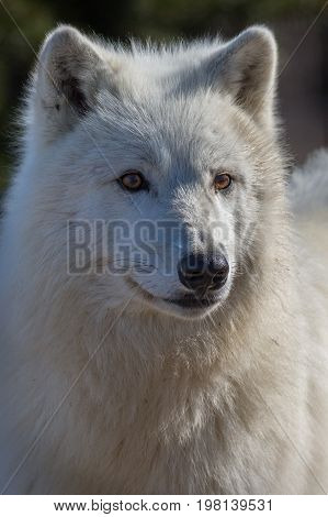 Polar or arctic wolf very close/white animals/captive animal/very sharp detail