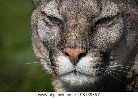 Puma or cougar close to photographer in the nature habitat/captive animals/very sharp detail