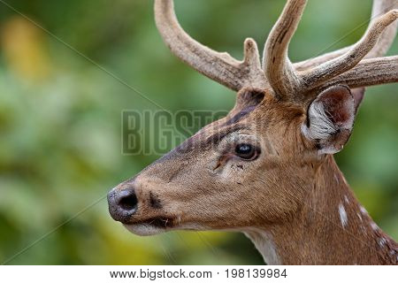 Beautiful axis deer in the nature habitat in India. Beautiful axis deer.Indian wildlife and tiger prey.