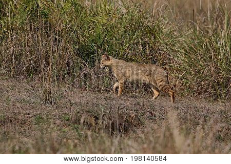 Beautiful jungle cat in the nature habitat in India. Very rare indian jungle cat.Indian wildlife and tiger prey.
