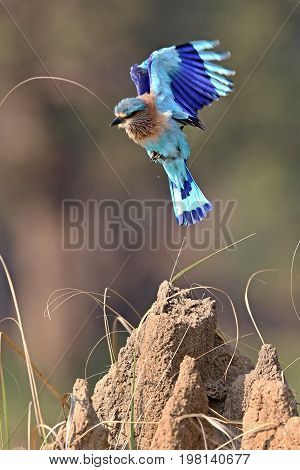 Indian roller sitting on a tree with the nice soft background/Indian roller with the nice soft background/Kaziranga National Park in indian Assam