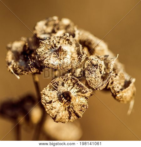 brown dry plant isolated from the background