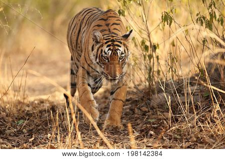 Tiger in the nature habitat. Wild tiger in great composition. Wildlife scene with danger animal. Hot summer in Rajasthan, India. Dry trees with beautiful indian tiger, Panthera tigris