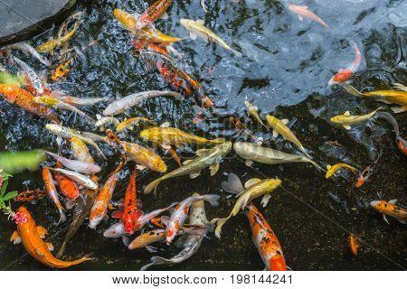 Close-up of many colorful Koi carps swimming