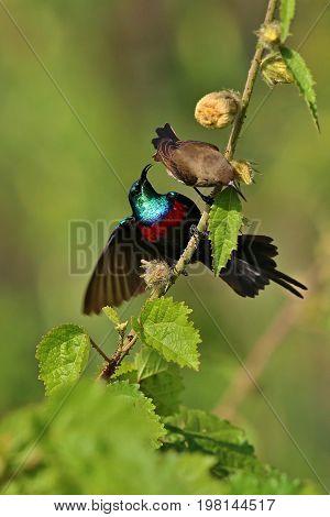 Beautiful tiny and colorful bird in the nature habitat, wild africa, african wilderness, beauty for birdwatchers, sunbird, hummingbird