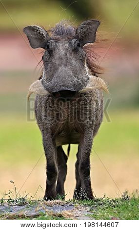 Wild african warthog in the nature habitat, wild africa, african wildlife, animals in their nature habitat, wild boar