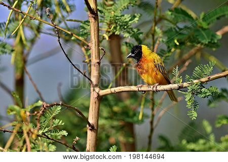 Beautiful tiny and colorful bird in the nature habitat, wild africa, african wilderness, beauty for birdwatchers