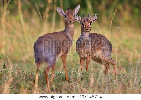 Dik-dik antilope pair in the beautiful nature habitat, wild africa, this is africa, colourful bush in Masai Mara in Kenya