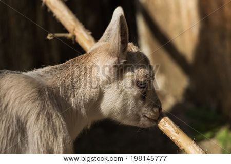 A cute goat nibbling at the branch