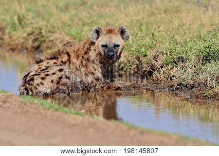 Spotted hyena resting in the nature habitat, carnivore, african scavengers, wild africa