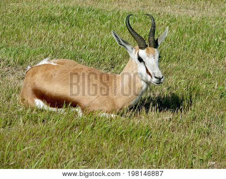 A SPRINGBOK RELAXING IN THE GRASS, THIS ANTELOPE IS FOUND MAINLY IN SOUTHERN AFRICA