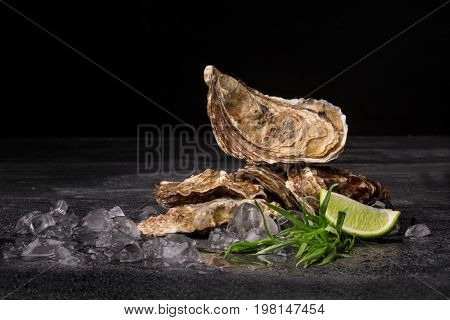 A close-up of juicy oysters on a black background. Fresh tropical sea mollusks full of nutrients. Close-up of seashells with ice cubes and lime. Delicious food. The greatest delicacy. Copy space.