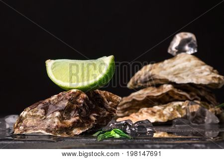 Close-up of four big juicy oysters pile with a lime segment and ice cube on top. Fresh sea mollusks full of nutrients on a black background. Close seashells with glittering ice cubes and citrus fruit.
