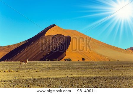Huge colored desert dune. Hot sunset in the Namib desert. Antelope Impala standing at the road. The concept of extreme and exotic tourism