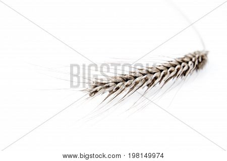 Ear of Rye on a white background