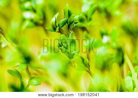 Cress - fresh healthy vegetable. Macro photography