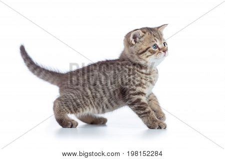 Shorthair scottish cat kitten goes side view isolated on white background.