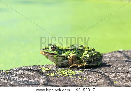 Frog on a wall by a pond