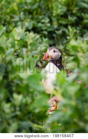 Portrait of Farne Island Puffin - Puffins winter in the oceans returning to land for the breeding season where they nest in burrows