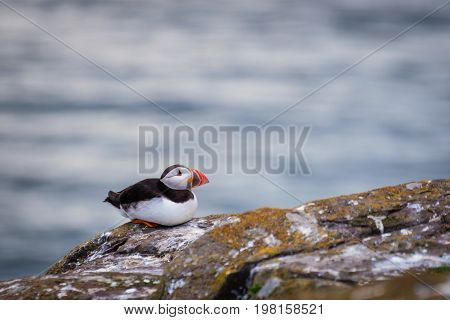 Single Farne Islands Puffin - Puffins winter in the oceans returning to land for the breeding season where they nest in burrows