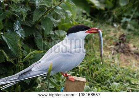 Arctic Tern with Sand Eel on Farne Islands - Arctic Terns migrate from Antarctica to the Farne Islands in Northumberland to breed. They feed their chicks with sand eels