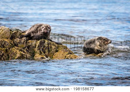 Farne Islands Grey Seals - The Farne Islands are a breeding ground for Grey Seals. They usually pup in the autumn months. This one has an injured nose