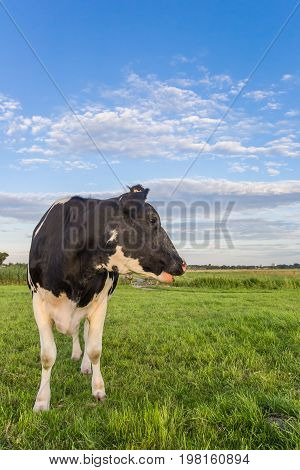 Dutch Black And White Cow In The Netherlands