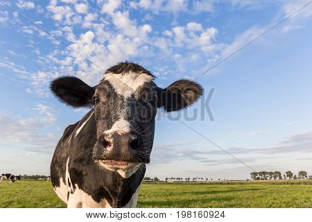 Close Up Of A Dutch Black And White Cow In The Netherlands