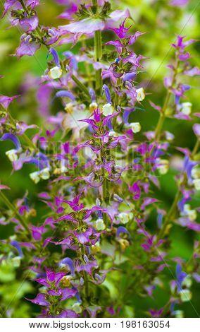 Sage medicinal plant. Sage. clary sage plant in garden in summer