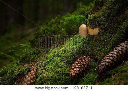 Tylopilus Felleus. Inedible Mushrooms