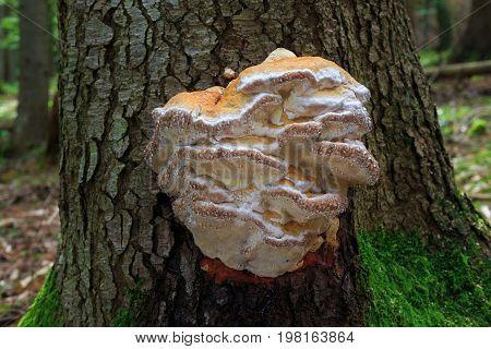 Fomitopsis Pinicola. Inedible Mushrooms.
